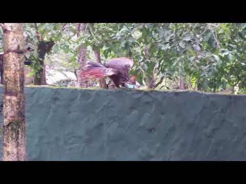 Hoatzin (Opisthocomus hoazin);  Giant anteater / Myrmecophaga tridactyla