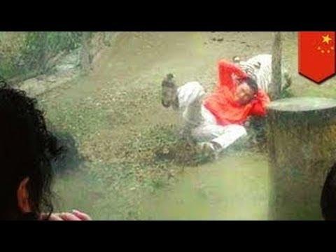 Китаец прыгнул в вольер к тиграм, чтобы накормить их... рисом