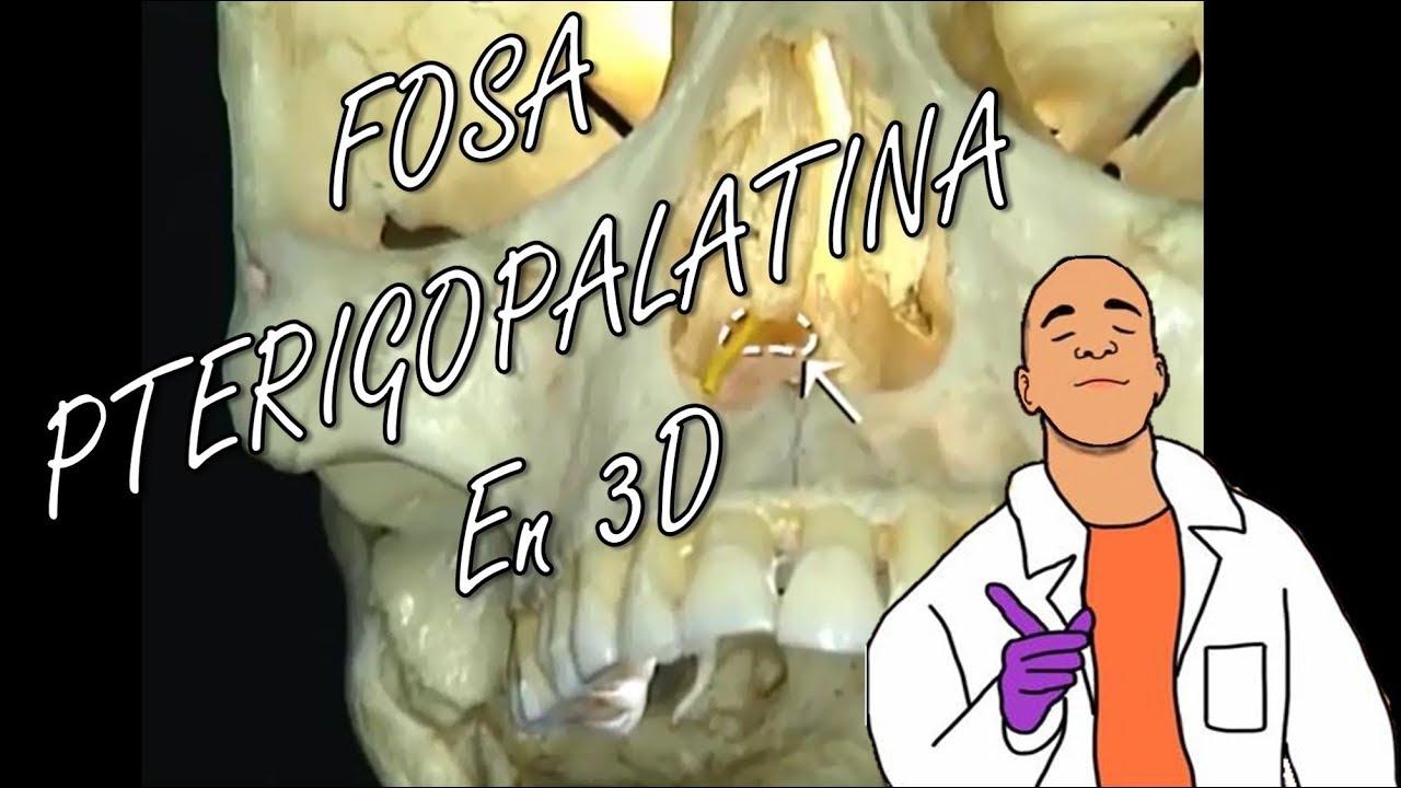 Anatomía - Fosa Pterigopalatina y su Contenido en 3D - YouTube