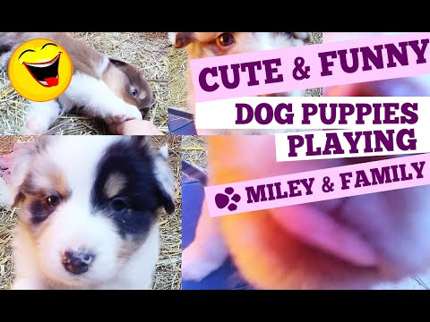 Cute Dog Puppies playing - Funny Australian Shepherd