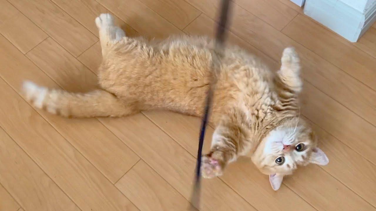 紐が捕まえられなくてコロコロ転がっちゃう短足猫が可愛い!