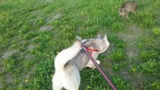 Хаски Лана очень любит кошек