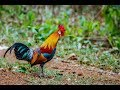 Lagu Ayam Hutan versi Reagae - Fhus Leky feat Marten Misa bersama #BCXBand
