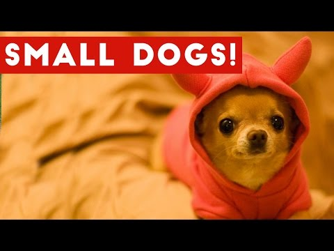 Funny Small Dogs With Big Attitudes Compilation 2017 | Best Funny Dog Videos Ever