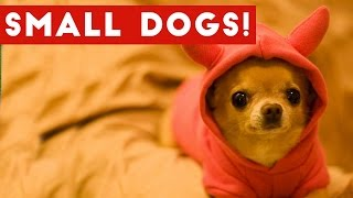 Download Funny Small Dogs With Big Attitudes Compilation 2017 | Best Funny Dog Videos Ever Mp3 and Videos