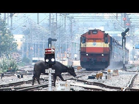 BUFFALO No Trolling the Train : Indian Railways Chalukya Exp.