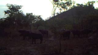 Video Buffalo in the Issa Valley (November 2012) download MP3, 3GP, MP4, WEBM, AVI, FLV November 2017