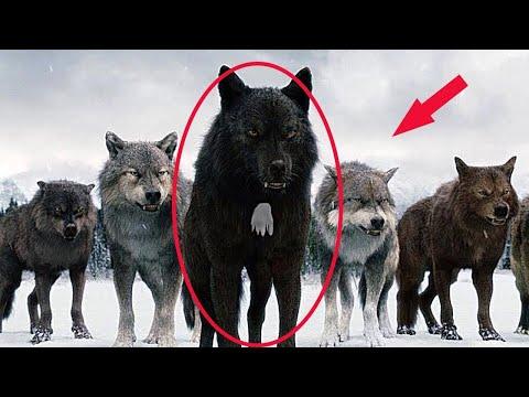 Dlatego myśliwi nie ruszają wilków z białą plamą na piersi!