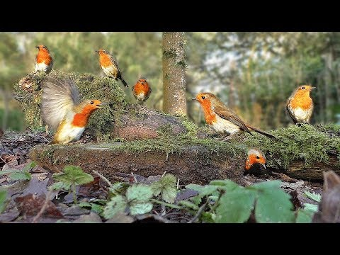 Videos for Cats to Watch – Robin Bird Frenzy and Other Beautiful Birds
