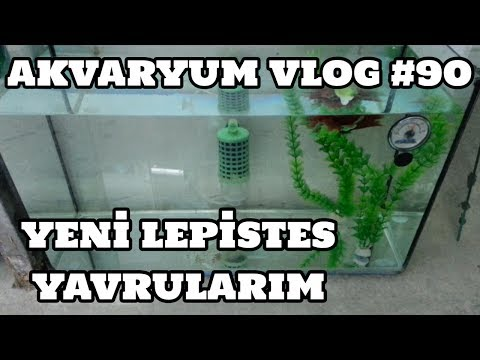 Hobihanem - Akvaryum Vlog #90 (Yeni Lepistes Yavrularım) [20.06.2017]