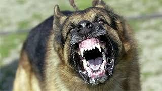 ما هو صوت الكلب ؟ ساعه متواصلة من صوت الكلاب