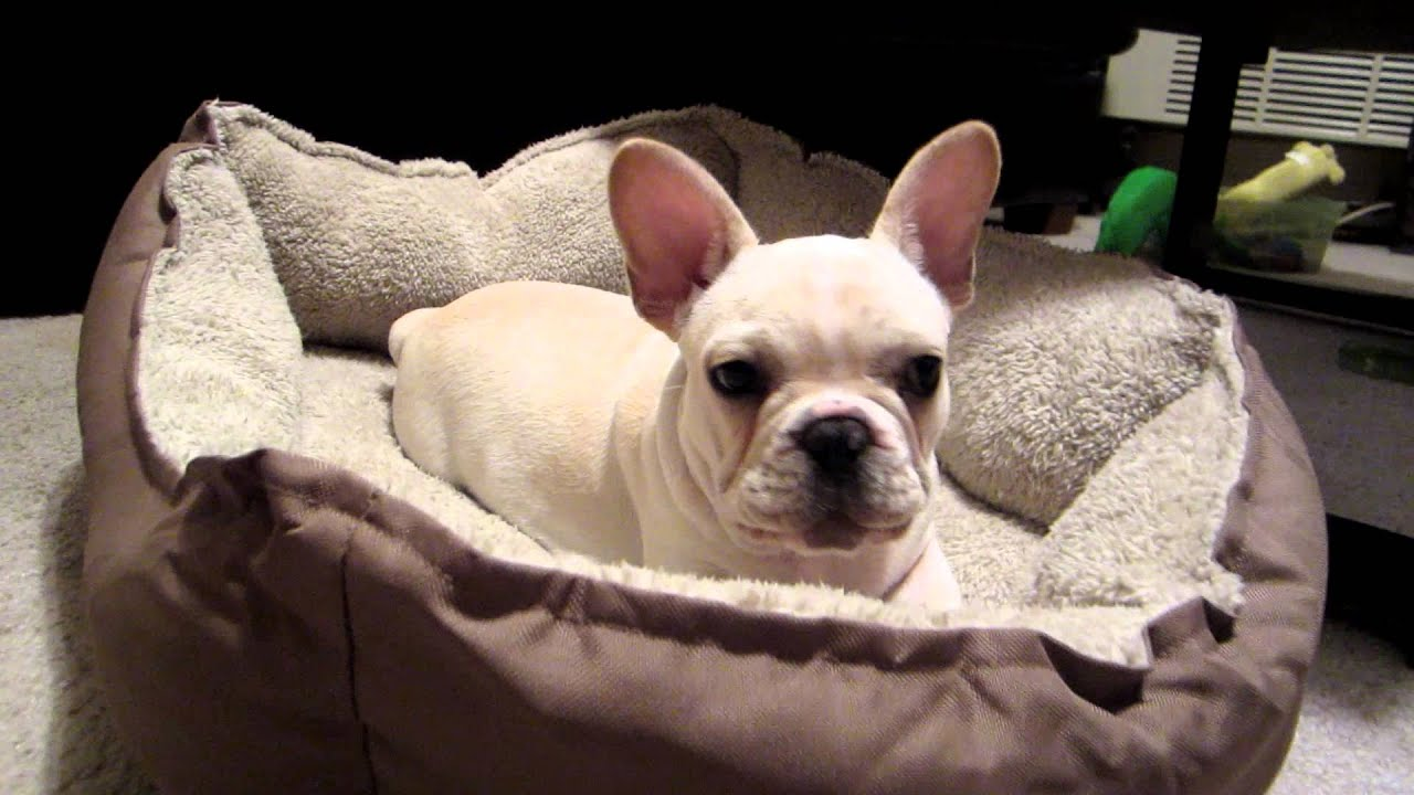 French Bulldog puppy angry when woken up. - YouTube