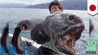 Nelayan Jepang menangkap ikan raksasa - Tomonews
