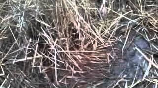 Ловля фазана на капкани и петлю20150205_150715.mp4