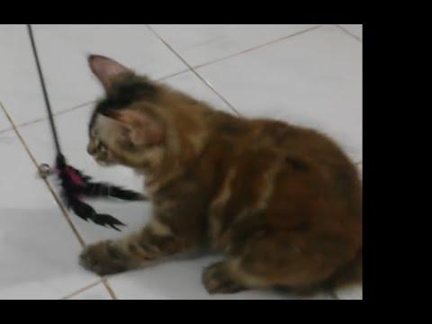 Kucing Maine Coon Bermain Bulu Mainan