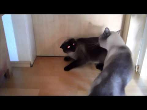 cat-fight-siam-mix-scream