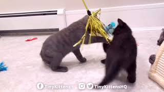 new-kittens-one-with-partial-paralysis-tinykittens-com