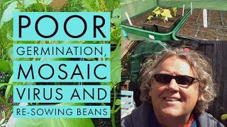Mulling germination, Mosaic Virus, re-sowing beans... and interruptions...  May 2019