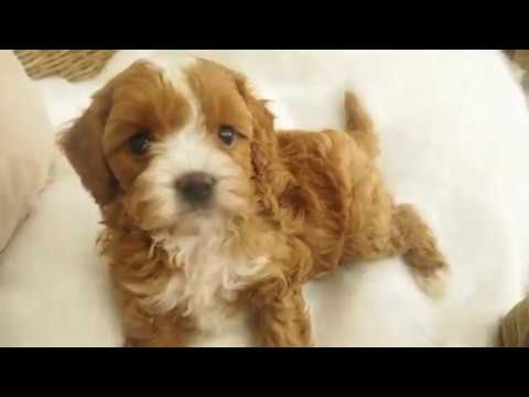 Panda's Toy Cavoodle Girl 3956 - Pocket Puppies