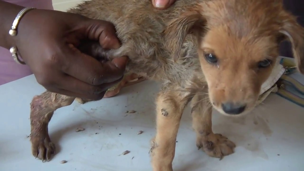 6 weeks old puppy 125 000 mangoworms roundabout   youtube