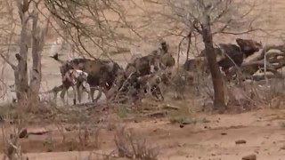 wild dog eating warthog live 20151125