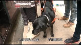 自1975年引入第一對導盲犬死後,從此約三十年來再無導盲犬在香港引路。近...
