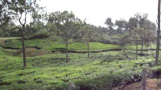 Tea plantations in Thekkady, Kerala