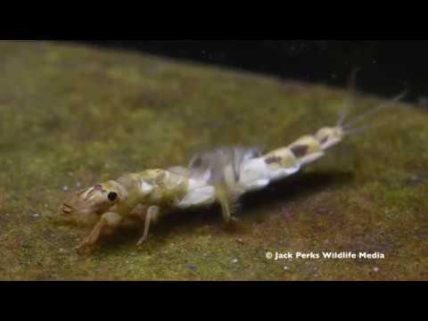 Mayfly Nyphm, Stonefly Larvae, Caddisfly Larvae Underwater