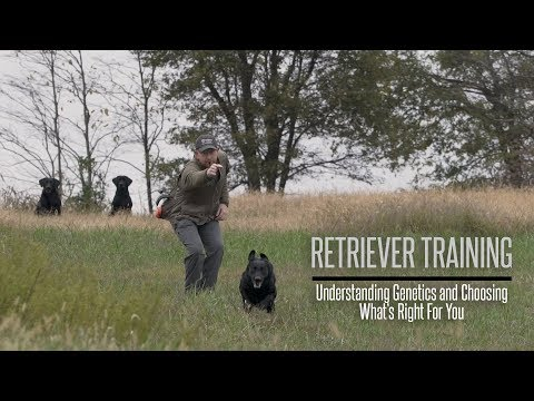 Understanding Genetics and Choosing What Retriever is Right For You - Hunting Dog Training