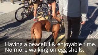 Dog & Human Aggressive Mastiff Rehab | Perfect Companion K9