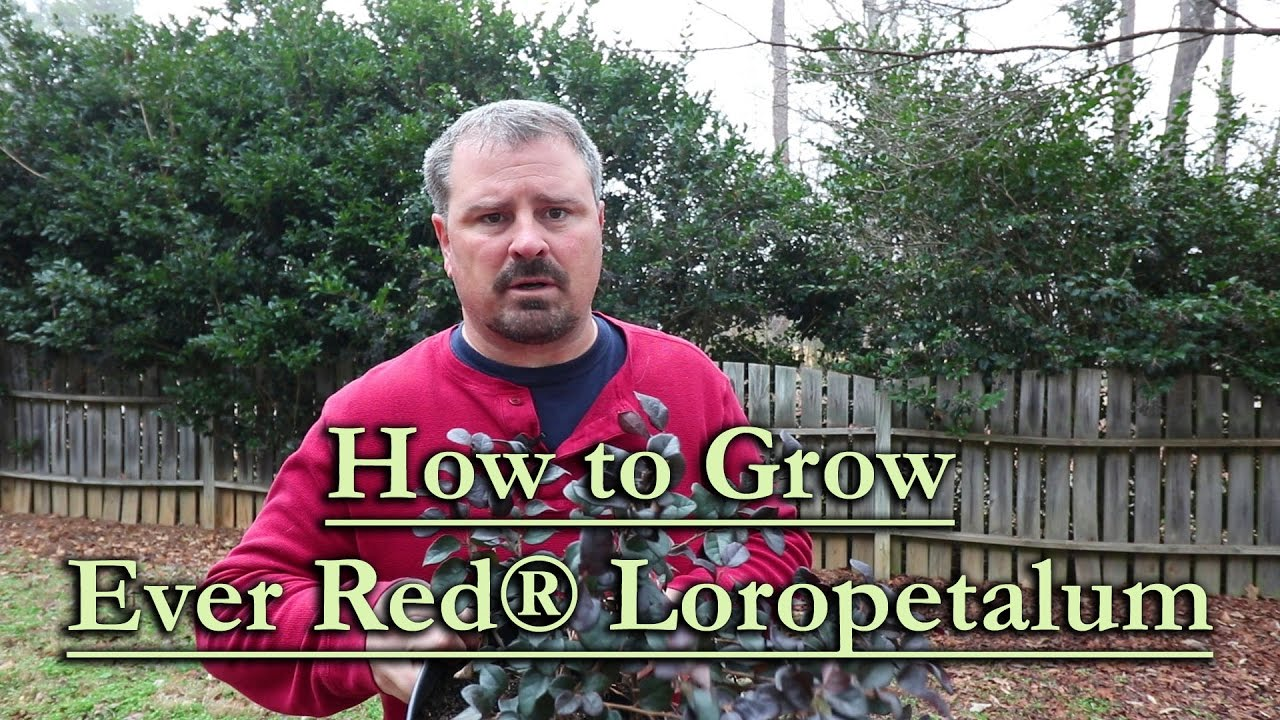 How To Grow Ever Red Loropetalum Red Flowering Chinese Fringe