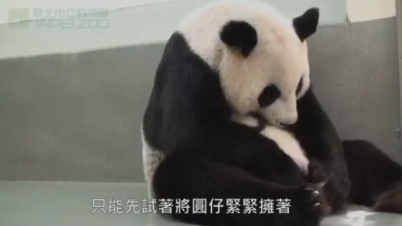 Cute baby panda plays with mum for the first time