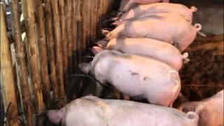 Babuyang Walang Amoy/Natural Hog Raising/Profitable Innovative Growing System in Bicol Part 3