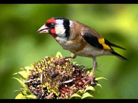 Голоса птиц - Щегол (Carduelis carduelis)