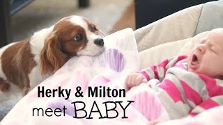 Cavalier King Charles meet Newborn BABY | Herky the Cavalier & Puppy Milton | Dogs and Babies