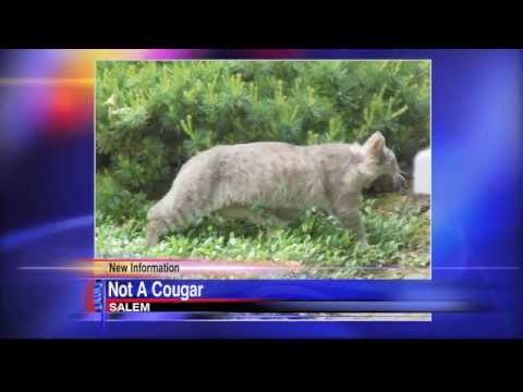 Man calls police on 'cougar'; turns out to be house cat . 'Cougar' spotted in Oregon man's backyard