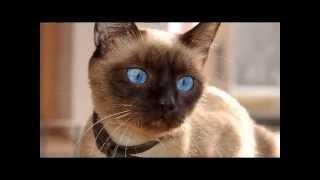 Сиамская кошка — одна из известных пород кошек сиамо ориентальной группы