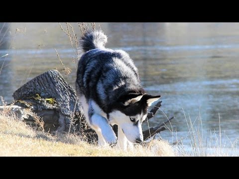 Before you decide to own a Siberian Husky, commit to train him/her off leash!