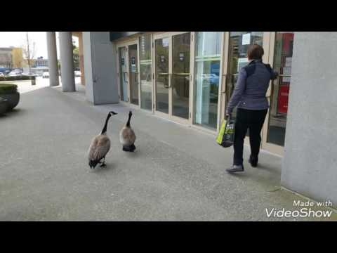 Funny Canadian Geese