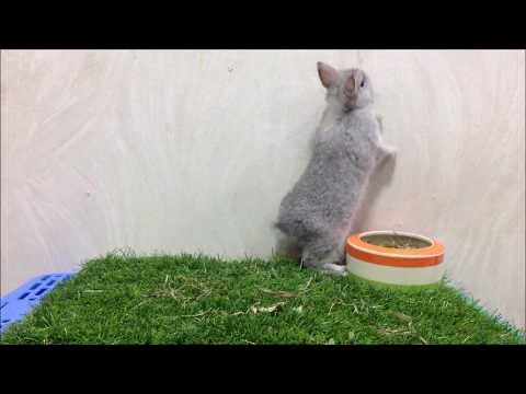 กระต่ายแคระสีชิน