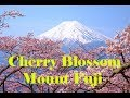 Cherry Blossom Park //Japan