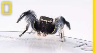 For Jumping Spiders, Choosing the Wrong Mate Turns Deadly | National Geographic