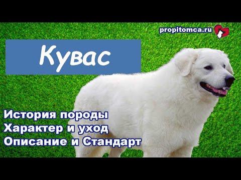 Кувас - крупная порода венгерских пастушьих собак