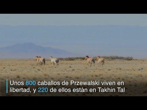 afpes: El viaje de los caballos de Przewalski a su tierra en Mongolia
