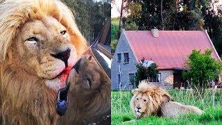 Лев ведет себя как домашняя кошка, но вместо ног хозяина, он трется о машины