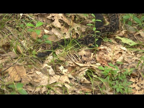 NH Timber Rattler Research