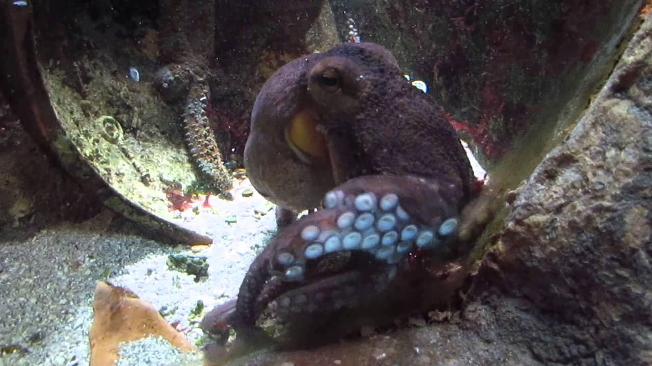 Haus des Meeres Der Oktopus