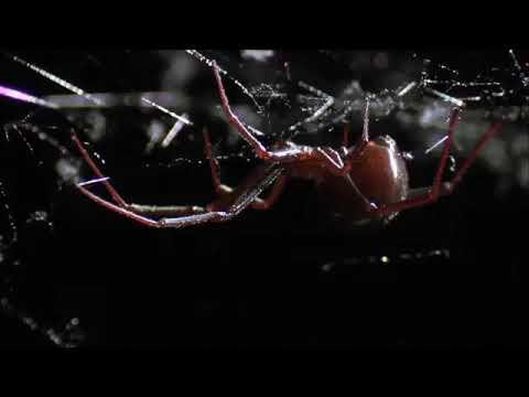 أنثى عنكبوت تقتل زوجها بعد التزاوج مباشرة .سبحان الله إن أوهن البيوت لبيت العنكبوت