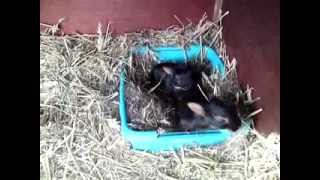 Baby Belgian Hares looking for mom for a feed! -part 2 (of2)