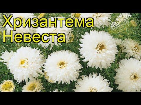 Хризантема девичья Невеста. Краткий обзор, описание характеристик Chrysanthemum Parthenium